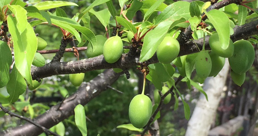 Need More Fruit Trees in Tucker Parks Orchard Guild